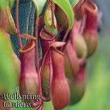Nepenthes Alata Live Carnivorous Pitcher Plant