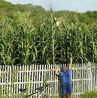 Canadian Field Corn Seeds - Silage - Cattle Feed - GMO FREE - 50 Seeds