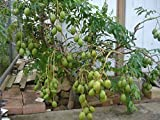 9EzTropical - June Plum Tropial Fruit Trees - 3 Feet Tall - Ship in 3 Gal Pot