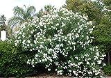 Oleander (Single, White) Aka Nerium Oleander 'Sister Agnes' Live Plant Fit 1 Gallon Pot