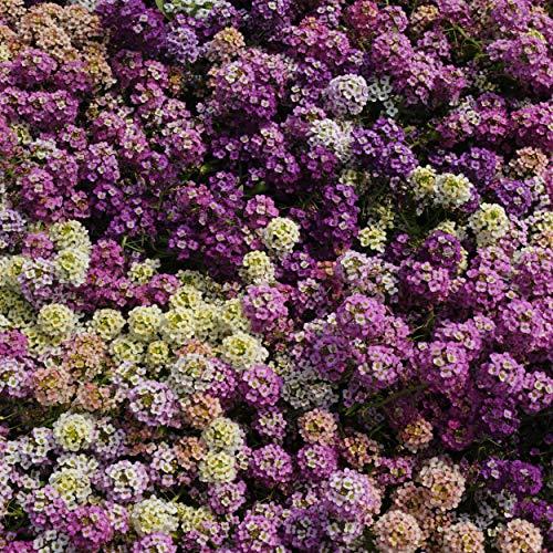 Outsidepride Alyssum Paletta Mix  5000 Seeds