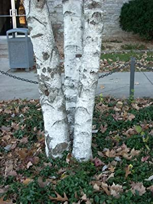 50 SILVER WEEPING BIRCH TREE White European Betula Pendula Alba Seeds Comb S/H by Seedville