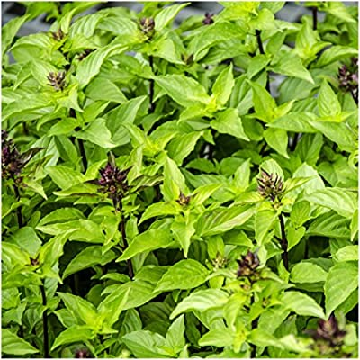Package of 500 Seeds, Thai Basil (Ocimum basilicum) Non-GMO Seeds By Seed Needs