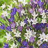 Triteleia mix - 15 Bulbs 5/6cm - Starflowers