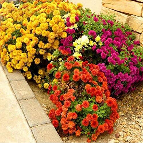 100 Semillas Semillas de Aster Crisantemo chino ornamental de flores hermosas plantas en macetas para jardín Plantar púrpura: Amazon.es: Jardín