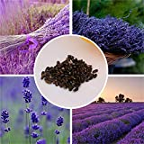 Techinal Provence Lavender Seeds Potted Plant Flower Herb Fragrant 100 Particles Gift a pack of 100Pcs