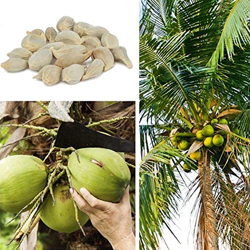 eeds Beach Juicy Delicious Fruit Garden Yard Bonsai Decor Coconut Tree Seeds ()