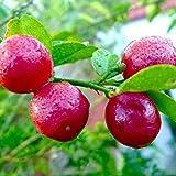 M-Tech Gardens Rare Red Lemon (Australian Red Lime) 1 Healthy Seedling Live Plant