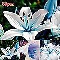 Tulas 50Pcs/Bag Blue Rare Lily Bulbs Seeds Planting Lilium Perfume Flower Garden Home Bonsai Decor