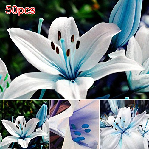 Tulas 50Pcs/Bag Blue Rare Lily Bulbs Seeds Planting Lilium Perfume Flower Garden Home Bonsai Decor