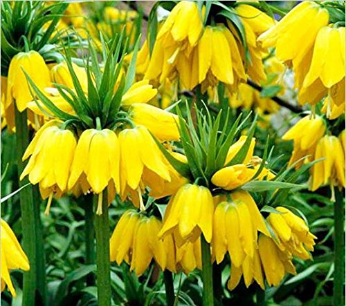 50 seeds Yellow Imperial Crown Seeds Fritillaria imperialis Lutea Seeds Easy To Grow (Crown Imperial Bulbs)
