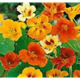 Tom Thumb Nasturtiums - Great Ground Cover