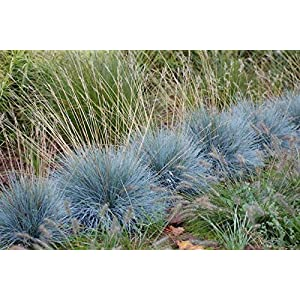 NIKITOVKASeeds - Blue Fescue Ornametal Grass - 400 Seeds - Organically Grown - NON GMO