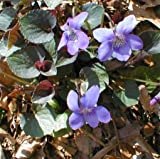 Labrador Violet 30 Seeds - Viola - Shade Perennial