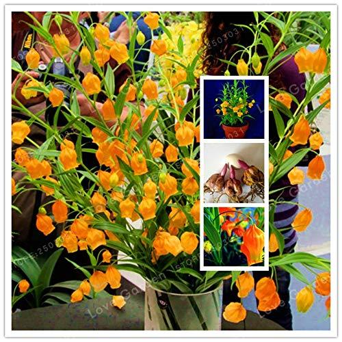 HOT !! – 2 Bulb Lily Palace Lantern Rare Flower Garden Plant, Balcony Bonsai Courtyard Plant Flowers Lily
