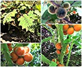 15 Seeds Solanum Quitoense (Naranjilla Seeds) Fruit Plant
