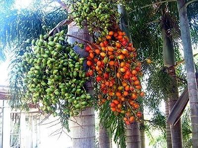 15 Foxtail Palm Seeds, Wodyetia Bifurcata - Gorgeous - Easy to Grow
