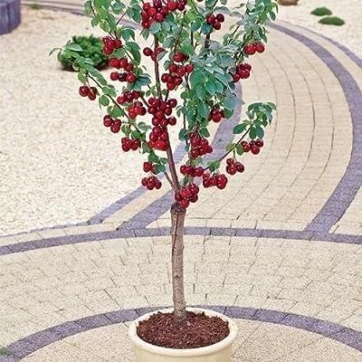 Cherry Tree Seeds - MIGHTY MIDGET - Large Sweet Cherries - GMO FREE - 10 Seeds