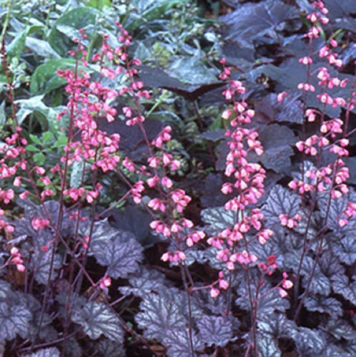 Heuchera Fairy Dust Coral Bells 50 seeds VERY RARE (SHADE) (Bells Coral Shade)