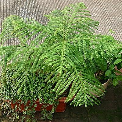 Ywbtuechars Fir Tree Seeds, 50Pcs Mini Fir Tree Seeds Perennial Bonsai Home Garden Yard Balcony Green Decor, Can Survive in Any Soil Environment - Fir Tree Seeds : Garden & Outdoor