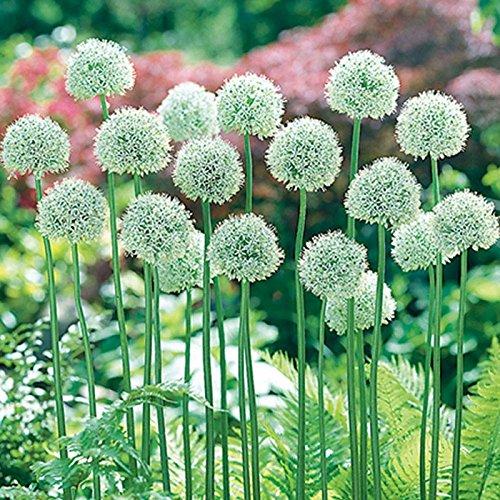 (25 Allium Mount Everest Bulbs-4-6 Inch Flower)