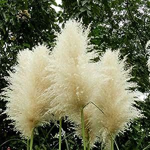 Impresionante nuevo raro semilla blanca Pampas Grass Patio Jardín maceta ornamental planta semillas de las nuevas flores de la hierba Cortaderia 500 PCS