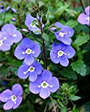 Georgia Blue Veronica - Speedwell - Quart Pot - Rich Blue Creeper