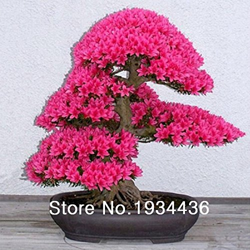 Used, japanese sakura seeds ,bonsai flower Cherry Blossoms for sale  Delivered anywhere in USA