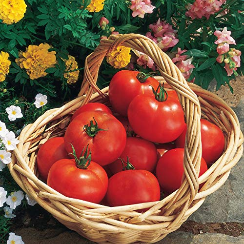 Burpee 'Early Girl' Hybrid   Red Slicing Tomato   Rich Flavor & Aroma   125 Seeds