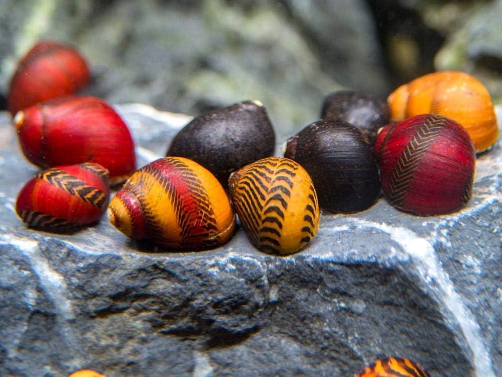 Family of 3 Red Racer Nerite Snails Freshwater Snails Algae Eaters