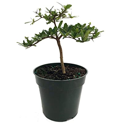 "Pre Bonsai Tree Dwarf Black Olive Plant Bucida Spinosa 4""Pot Indoor Best Gift: Garden & Outdoor"