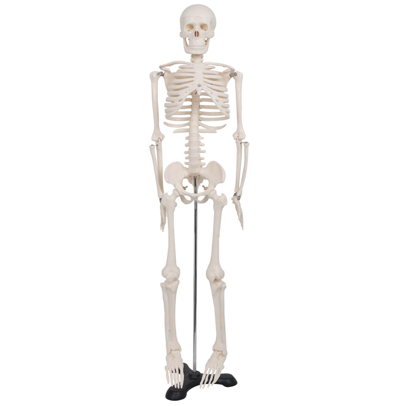 ZENY Mini Size 33.5'' Advanced Medical Human Anatomical Skeleton Model - 1/2 Full Sized + Stand + Bone Number Kit
