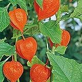 Chinese Lantern- (Physalis Alkekengi)- 50 Seeds