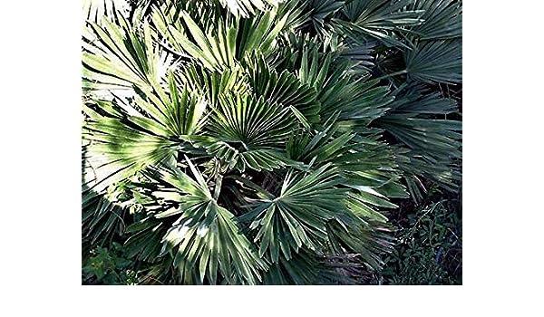 "Chamaerops humilis /""Vulcano/"" Rare Cold Hardy Palm! 10 seeds"