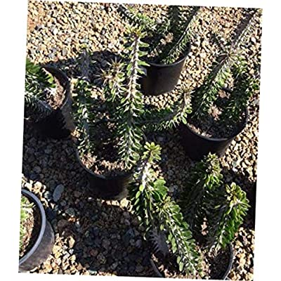 TEE 1 Bare Root Cactus Plant Large False Ocotillo - RK69 : Garden & Outdoor