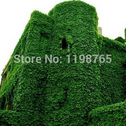 ! 200pcs hiedra de Boston Semillas Semillas 100% original de enredadera japonés hierba verde Seed Anti-radiación de rayos ultravioleta SVI