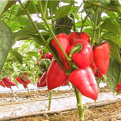 30++ PIMENTO Large Sweet Pepper Seeds NON-GMO : Garden & Outdoor
