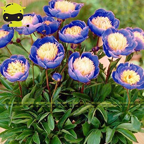 (Heirloom 'Bowl of Beauty' Peony Flower Seed, 5 Seed/Pack, Rare dormant Plants)