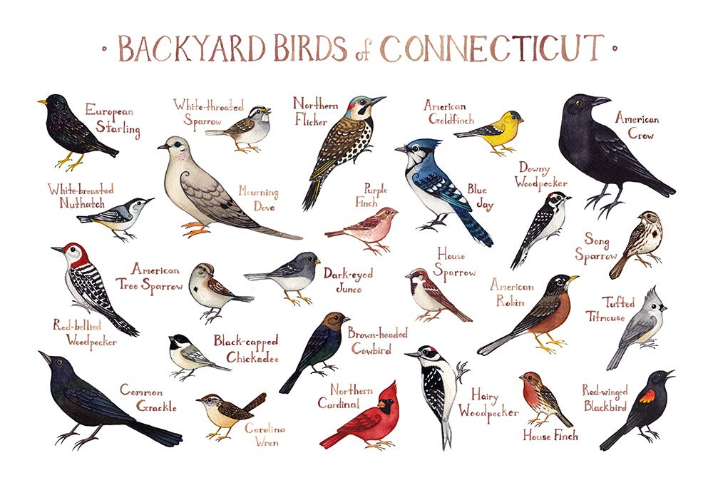 Amazon.com: Backyard Birds of Connecticut Field Guide Art Print: Handmade - Amazon.com: Backyard Birds Of Connecticut Field Guide Art Print