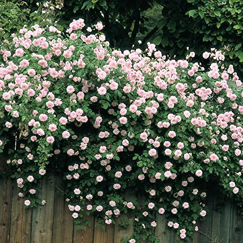 Spring Hill Nurseries - Cecile Brunner Climbing Rose, Live Bareroot Plant with Pastel Pink Flowers (1-Pack)