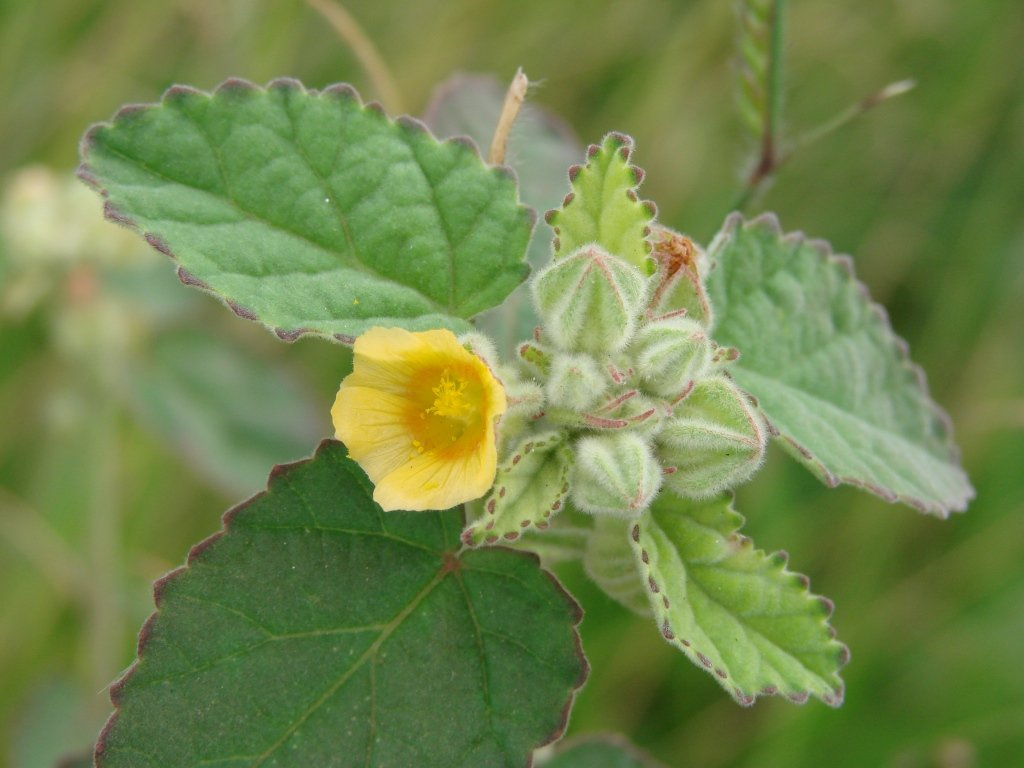Asklepios-seeds/® Bala 5000 Semi di Sida cordifolia