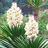 Spanish Bayonet, rare YUCCA ALOIFOLIA agave garden Dagger Plant seed - 15 SEEDS