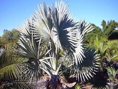 5 Bismarck Palm Seeds *Rare* *Exotic* Bismarckia Nobilis Giant Seeds