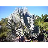 Amazon.com: 10 mediterráneo ventilador Palma de semillas ...