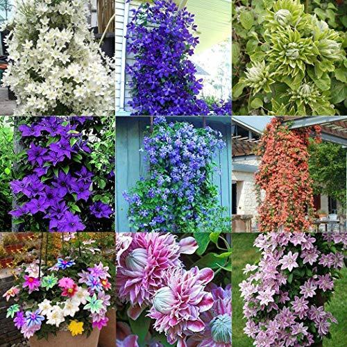 Portal Cool 9: 40 Unids Home Garden Balcã³n Plantas Ornamentales Belleza ClemáTide Semillas de Flores Btl8