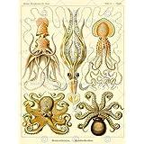 ERNST HAECKEL OCTOPUS BIOLOGY GERMANY VINTAGE POSTER ART PRINT 12x16 inch 868PY
