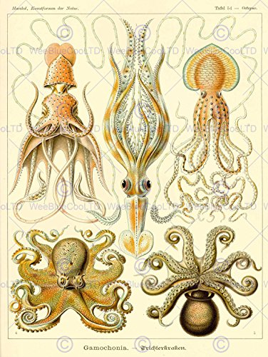 Nature Art Ernst Haeckel Octopus Biology Germany Vintage Poster Print cm 868PY