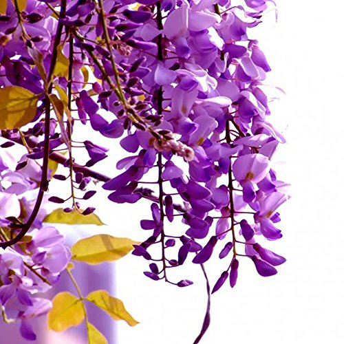 Seed Ornament - Wintefei 30Pcs Wisteria Flower Seeds Home Garden Perennial Climbing Plants Ornament