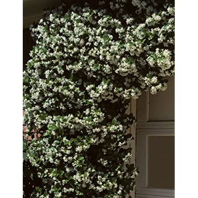 Madison Confederate Jasmine (Trachelospermum jasminoides) : Flowering Plants : Garden & Outdoor