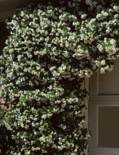 Madison Confederate Jasmine (Trachelospermum jasminoides)